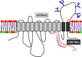 madhavan.200.ATP8A2-CDC50A_cartoon.fw